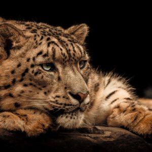Snow-leopard-angela-gomes-chique-interieurs